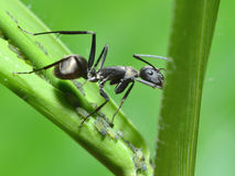 Close up ant Royalty Free Stock Photos