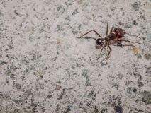 Close up of an ant on the pavement of a sidewalk royalty free stock photos