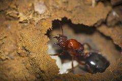 Close-up of an ant at Saswad, Maharashtra royalty free stock images