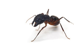 Close up of ant  on white Stock Photos