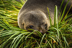 Close-up of Antarctic fur seal in grass Stock Photos