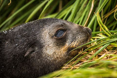 Close-up of Antarctic fur seal pup head Stock Images
