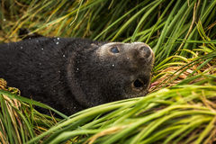 Close-up of Antarctic fur seal pup upside-down Stock Photography