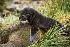 Close-up of Antarctic fur seal on rock Royalty Free Stock Photography