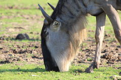 Close up of an antelope gnu Royalty Free Stock Image