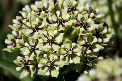 Antelope horn milkweed. Close up of an antelope horn milkweed plant stock images