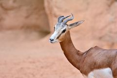 Close-up of antelope, impala. Stock Image
