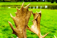 Close Up of the Antlers of a Fallow Deer royalty free stock photography