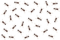Close up of ants Royalty Free Stock Image