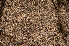 Close-up of ants nest. Large ant hill in summer forest. Stock Image