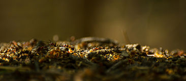 Close-up of ants working at the anthill in the woods Royalty Free Stock Image