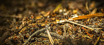 Close-up of ants working at the anthill in the woods Royalty Free Stock Photos