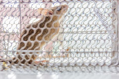 Close up of anxious rat trapped and caught in metal cage Royalty Free Stock Photography