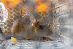 Close up of anxious rat trapped and caught in metal cage Royalty Free Stock Images