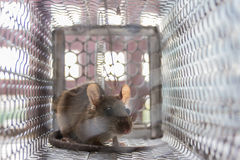 Close up of anxious rat trapped and caught in metal cage Stock Photography