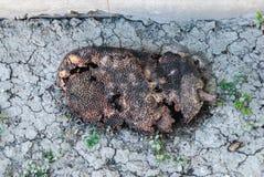 Close up ao Jackfruit podre ignorado na terra seca foto de stock