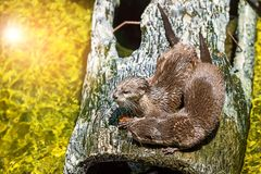 Close up aonyx cinerea. Two Oriental small clawed otters, aonyx cinerea sitting on the log near water Royalty Free Stock Photography