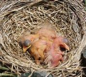 Close-up apenas de Robin Chicks chocado Imagens de Stock Royalty Free