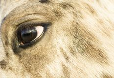 Close up of an appaloosa horse`s face Stock Photos