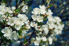 Close-Up of Apple Blossom Stock Photos