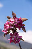 Close-Up of Apple Blossom, Italy Stock Photography
