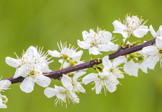 Close-up of apple blossom in spring Royalty Free Stock Images