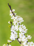 Close-up of apple blossom in spring Stock Photos