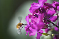 Close-up of apple-blossom-weevil on blossom Stock Image