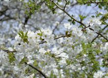 Close up apple blossom white flowers branch and blue sky spring background stock photo