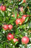 Close up of an apple tree. In autumn Stock Photography