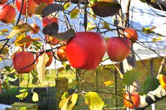 Close up apple on tree. Red apples on an apple tree in Gunma Japan Royalty Free Stock Photos