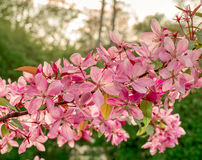 Close up of apple tree blooms on sunny spring morning. Beautiful spring tree pink blossoms background. Branch with flowers of an apple-tree of Nedzvetsky Malus Stock Images