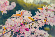 Close up of apple tree blooms on sunny spring morning. Beautiful spring tree pink blossoms background. Branch with flowers of an apple-tree of Nedzvetsky Malus Royalty Free Stock Photos