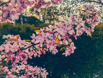 Close up of apple tree blooms on sunny spring morning. Beautiful spring tree pink blossoms background. Branch with flowers of an apple-tree of Nedzvetsky Malus Royalty Free Stock Photography
