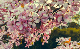 Close up of apple tree blooms on sunny spring morning. Beautiful spring tree pink blossoms background. Branch with flowers of an apple-tree of Nedzvetsky Malus Stock Photo