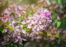 Close up of apple tree blooms on sunny spring morning. Beautiful spring tree pink blossoms background. Branch with flowers of an apple-tree of Nedzvetsky Malus Royalty Free Stock Images