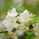 Apple tree branch with some flowers. Close up of apple tree branch with blooming flowers with visible pistils, anthers and petals stock image
