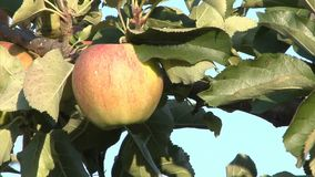 Single apple in the tree. Close up of an apple tree, centered on a single yellow apple just about to turn red stock video footage