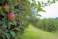 Close Up Apple Tree Covered With Ripe Apples. Royalty Free Stock Image
