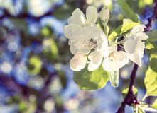Close up apple tree flower with leaves Royalty Free Stock Photos