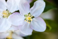 Close up of the apple tree flowers Stock Photo