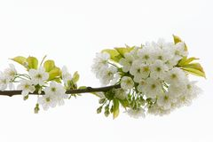 Close up of apple tree flowers Stock Images