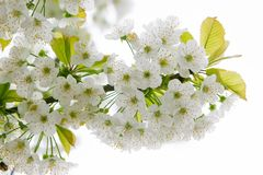 Close up of apple tree flowers Stock Photos