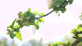 Close-up apple tree twig with bloom. 4k stock video footage