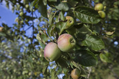 Close-up of apples ripening on tree Stock Image