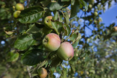Close-up of apples ripening on tree Royalty Free Stock Photos