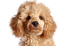 Close-up, apricot poodle puppy. Isolated on white background stock photo
