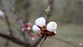 Close-up of apricot tree flower stirred by wind in spring. Prunus armeniaca. Beautiful apricot fruit tree flower stirred by wind in spring stock video