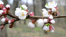Close-up of apricot tree flowers blown by wind stock video footage