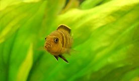 Close up of an aquarium fish. On green algae background Stock Photography